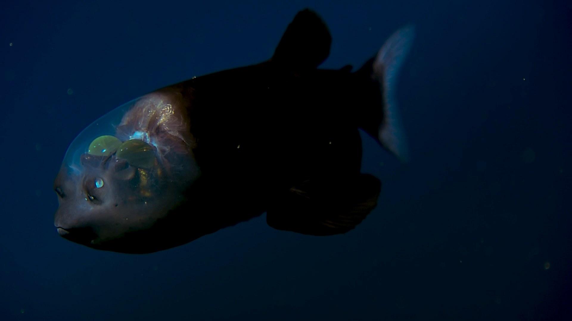 фото рыбы с прозрачной головой путешествие